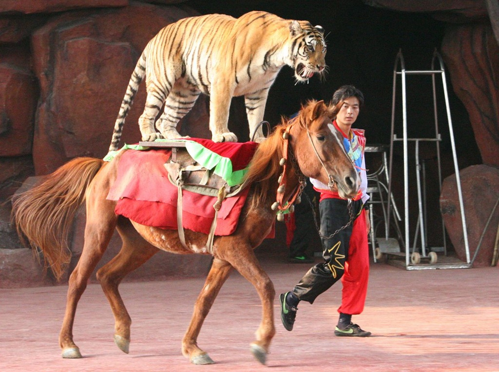 The tiger jumps back on the horse them 39 s fightin 39 words for Places to go horseback riding near me