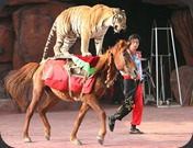 Tiger_riding_a_horse
