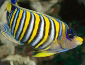colorful05-regal-angelfish_17429_600x450