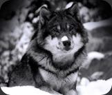 wild-wolf-super-hd-2-0-s-307x512